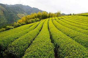 zelený čaj použití