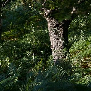 dub letní