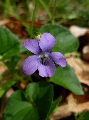 violka vonná
