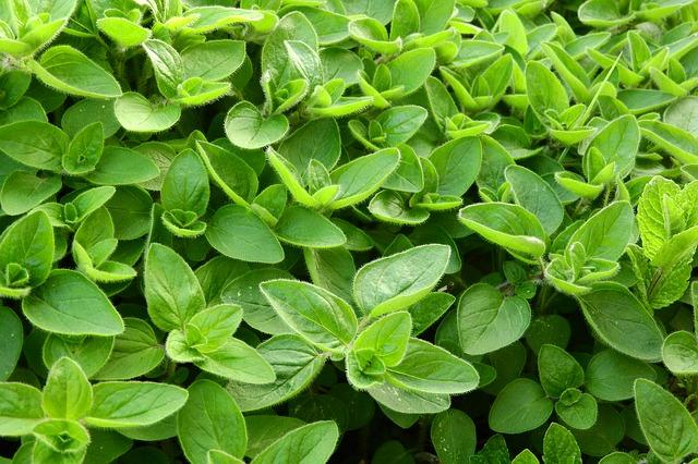 majoránka zahradní