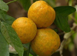 Pomerančovník hořký