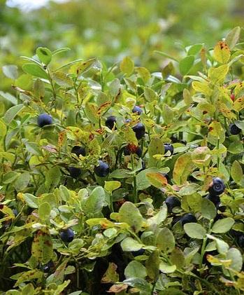 Brusnice borůvka