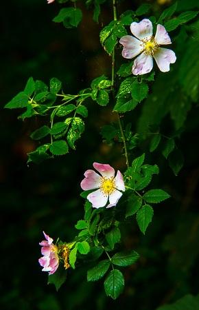 růže šípková