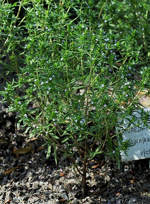 saturejka zahradní účinky