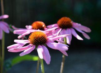 Echinacea (Třapatka nachová)