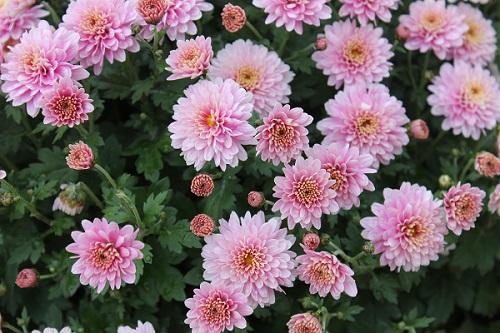 Chryzantema-listopadka-zahradní