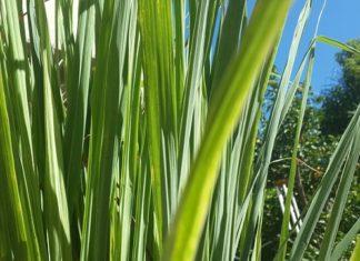 citronová tráva