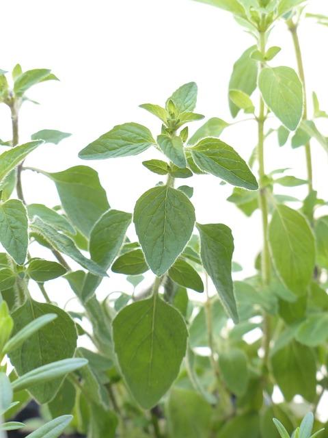 majoranka zahradní