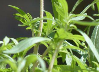 saturejka zahradní