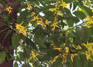 Kananga vonná – Ylang Ylang