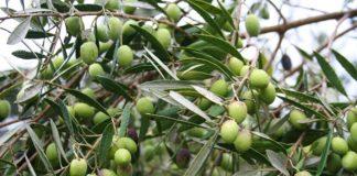 Olivovník evropský