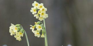 Prvosenka vyšší Primula elatior
