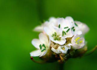 trávnička přímořská