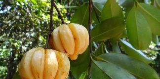 garcinie kambodzska diety
