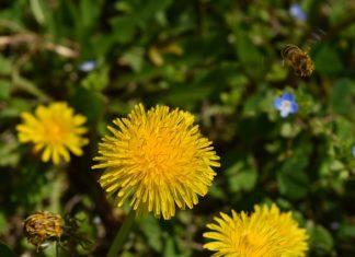 pampeliska jarni bylinky