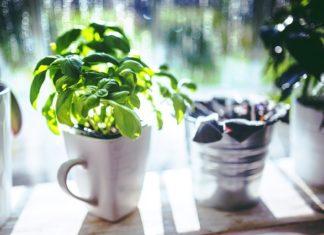 pestovani bylinek