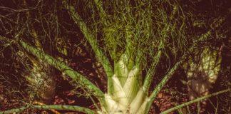 pestovani koreni bylinky fenykl