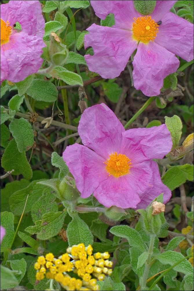 cist kretsky kvet