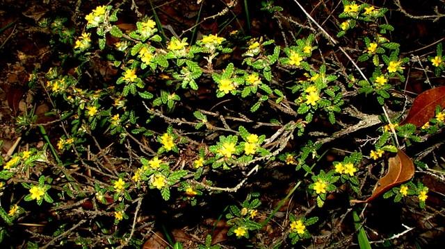 damiana kvet
