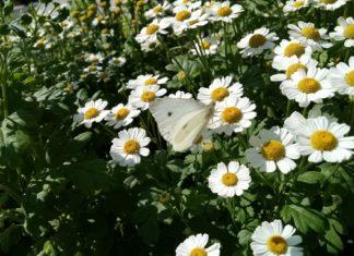 rimbaba kvet