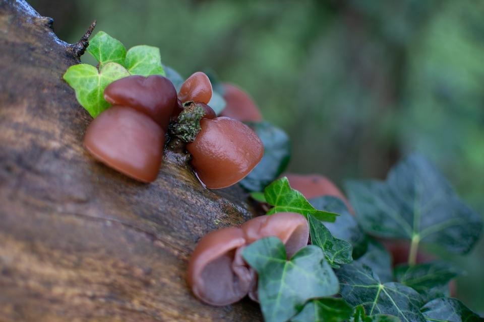 jidasovo ucho houba