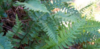 osladic rostlina