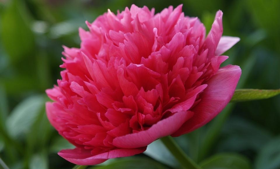 pivonka kvet