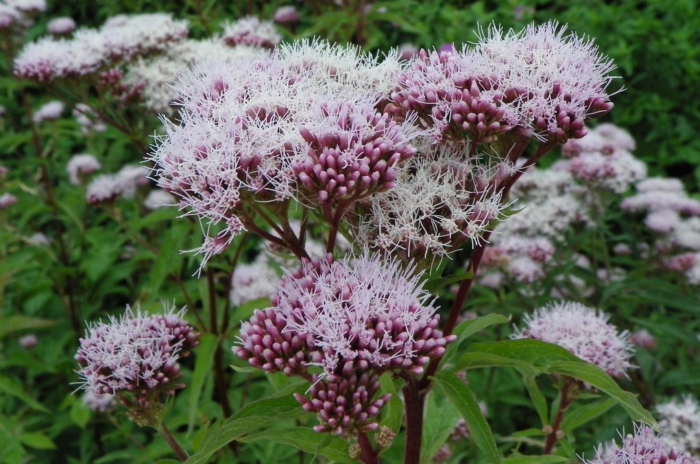 sadec konopac kvet