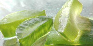 aloe vera bylina