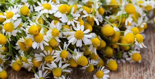 hermanek kvet