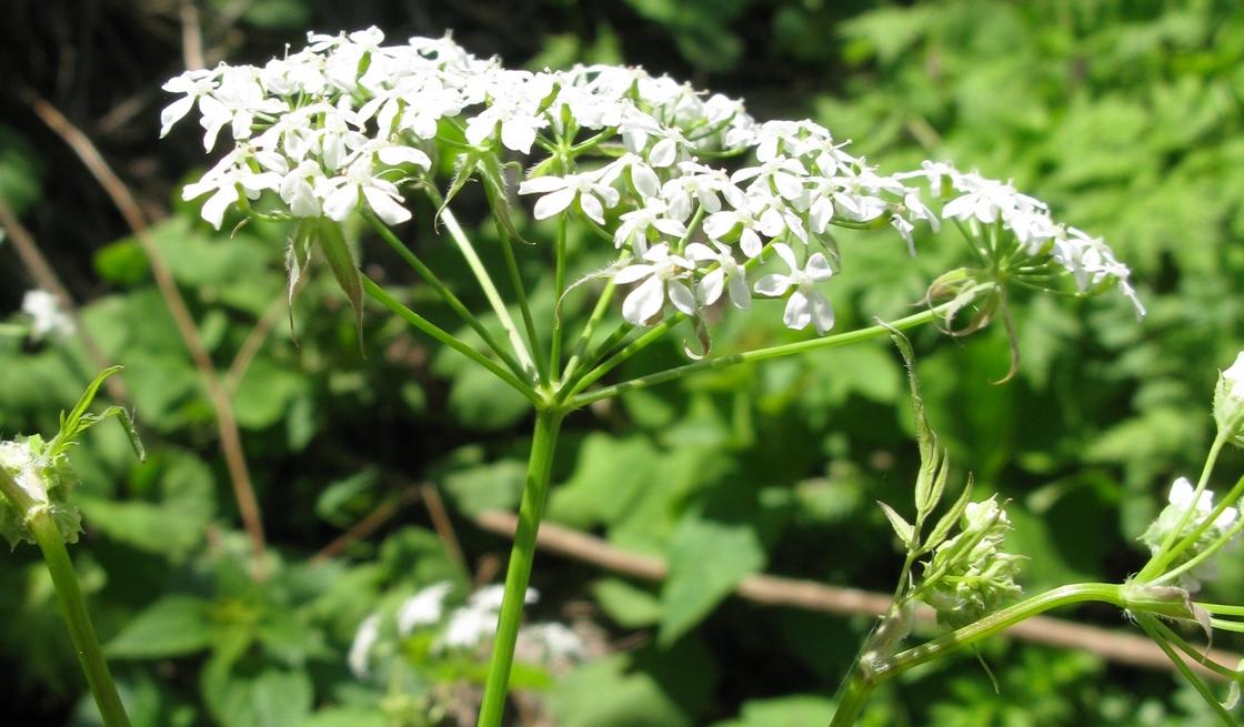 kerblik kvet