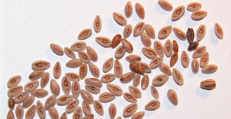 semena jitrocele
