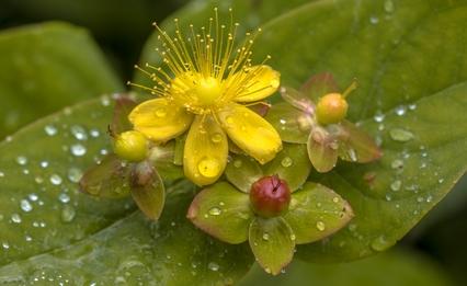 trezalka kvet
