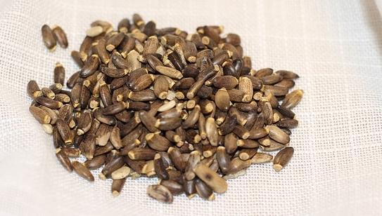 semena ostropestrec