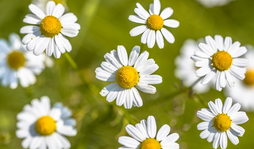 kvet hermanek