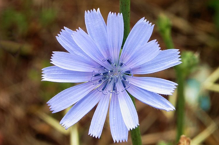 cekanka kvet