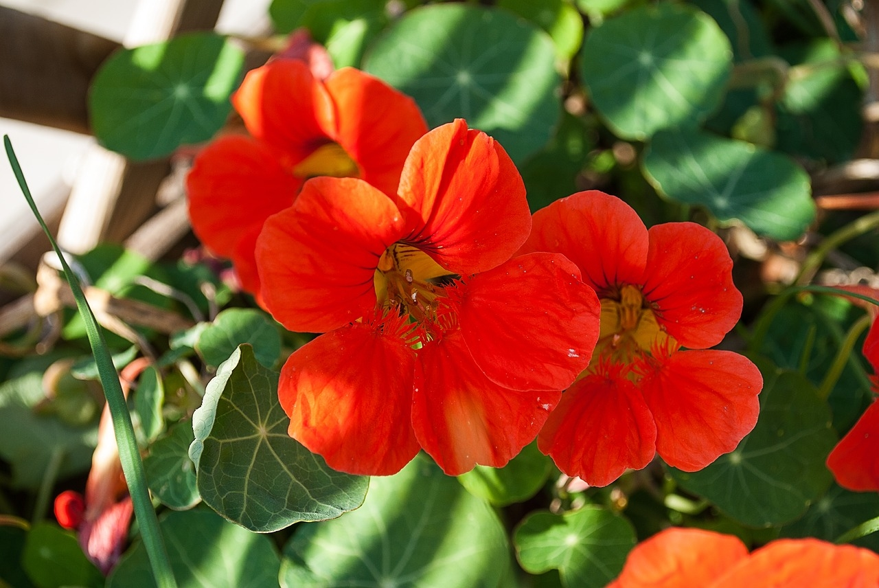 lichorerisnice kvet