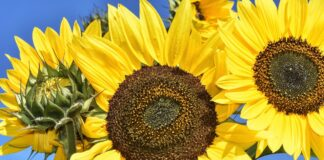 slunecnice kvet