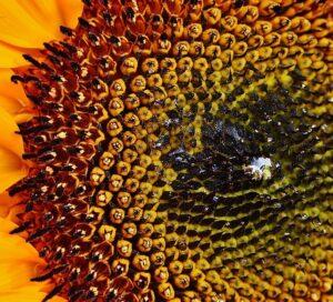 slunecnice semena