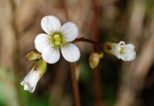 lomikamen kvet