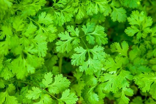 koriandr bylinka