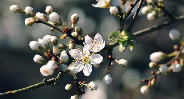 trnka kvet