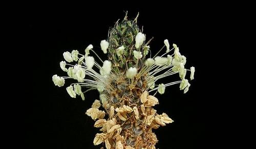 jitrocel kvet