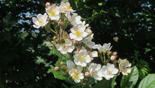 ruze mnohokveta